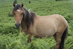 Side view of an adult Dartmoor Pony surrounded by vegetation in Devon