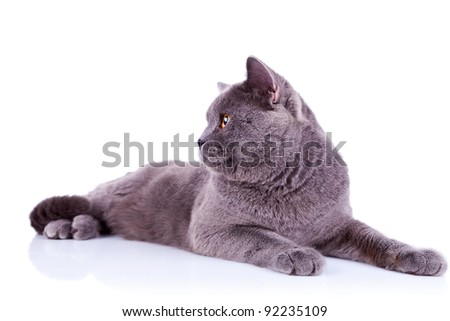 side view of an big english cat looking at something over white background