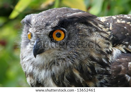 Side view of an Eagle owl