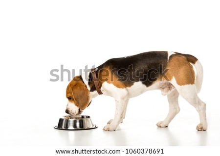 side view of beagle dog eating dog food isolated on white