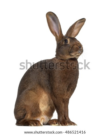 Side view of Belgian Hare isolated on white #486521416
