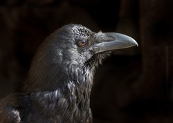 Side view of Black Crow( raven) on black background. Close up.