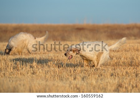 Side view of brown dotted setter purpurebred dog running over cultivated wheat field #160559162
