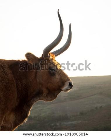 Side view of Cachena cattle cow bull Barrosa Barrosao bos taurus farm animal breed domestic long horn race in Norte Region Portugal Europe Stockfoto ©