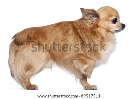 Side view of Chihuahua, 8 years old, in front of white background