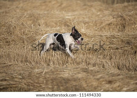 side view of dotted pointer purpurebred dog running on cultivated wheat field - stock photo