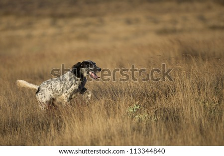 side view of dotted setter purpurebred dog running