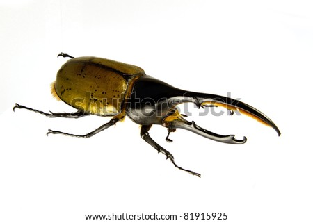 Side view of Dynastes hercules isolated on a white background.