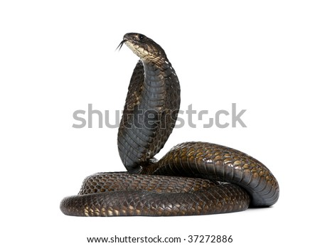 Side view of Egyptian cobra, Naja haje, against white background, studio shot