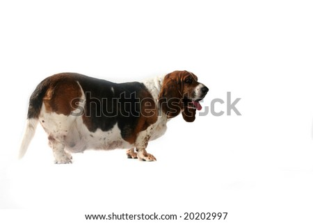 side view of fat basset hound dog with tongue out