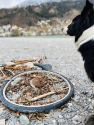 Side view of female Border Collie sitting beneath strongly rusty damaged bicycle disposed on stony ground waterside