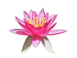 Side view of fresh pink lotus yellow petals flower isolated on white background with clipping path. multi layer soft petal blooming.