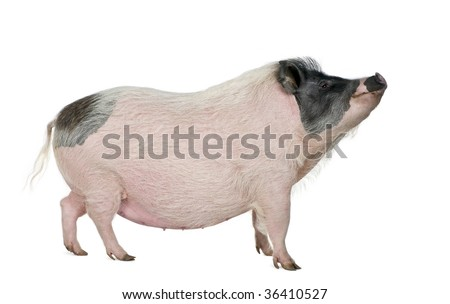 Side view of Gottingen minipig standing in front of white background, studio shot
