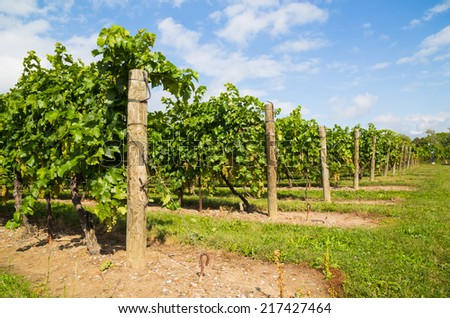 Side view of grape vine plantations during the day