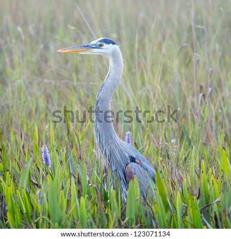 Side view of Great Blue Heron in Everglades National Park Florida