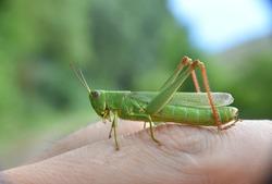 Side view of green grasshopper on finger.