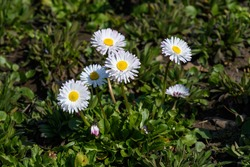 Side view of large group of Daisies or Bellis perennis white flowers in direct sunlight, in a sunny spring garden, beautiful outdoor floral background