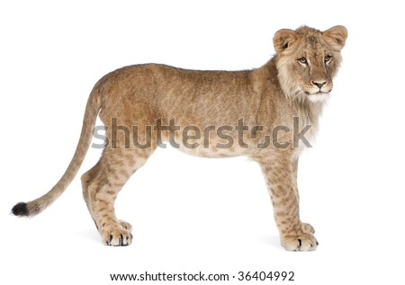 Side view of Lion cub, 8 months old, standing in front of white background, studio shot