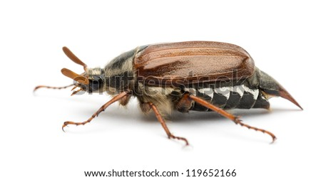 Side view of Male Cockchafer, Melolontha melolontha, also known as May bug, Mitchamador, Billy witch or Spang beetle against white background