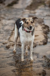 Side view of mixed breed wet shepherd dog in red collar standing by big rain puddle at dirty countryroad and looking at camera