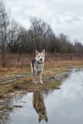 Side view of mixed breed wet shepherd dog standing by big rain puddle at dirty countryroad