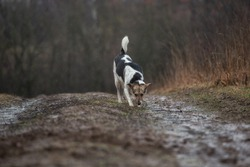 Side view of mixed breed wet shepherd dog walking at dirty countryroad during rain