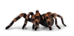 Side view of moving Mexican Redknee tarantula aka Brachypelma hamorii. Isolated on white background.