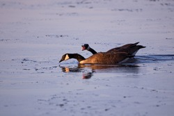 Side view of pair of Canada geese swimming on the St. Lawrence River during an early spring morning, with one bird cackling with beak wide open, Cap-Rouge area, Quebec City, Quebec, Canada