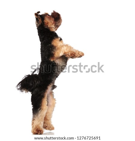 side view of playful yorkie standing on back paws on white background