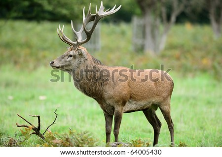 Side view of red deer stag standing in the rain