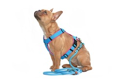 Side view of red fawn French Bulldog dog wearing teal harness with rope leash isolated on white background