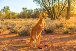 Side view of red kangaroo, Macropus rufus, standing on the red sand of outback central Australia. Australian Marsupial in Northern Territory, Red Center. Desert landscape at golden sunset.