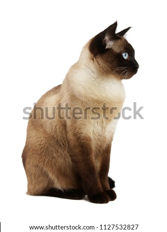 side view of siamese cat isolated on white background