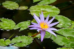 Side view of single wet growing bright purple Water Lily flower (Lotus flower) and green Lily Pads with water drops
