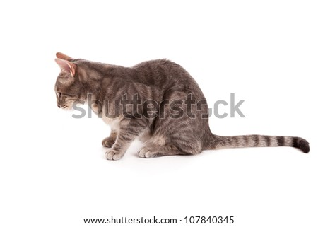 Side view of tabby cat isolated on white