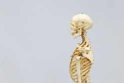 Side view of the bones of the head neck and upper thorax. Human skeleton model. Anatomical skeleton model. Skeletal system isolated on white background.