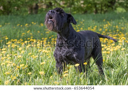 Side view of the howling Giant Black Schnauzer Dog standing at the blossoming dandelion meadow #653644054
