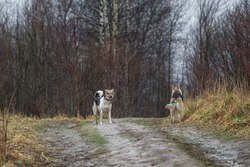 Side view of two mixed breed wet shepherd dogs walking at dirty countryroad during rain