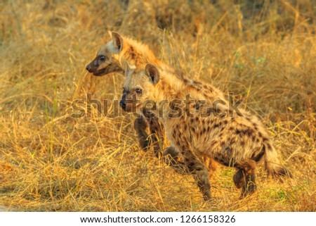 Side view of two spotted hyena cubs species Crocuta crocuta, in the dry bushland. Kruger National Park, South Africa. Iena ridens or hyena maculata outdoor.