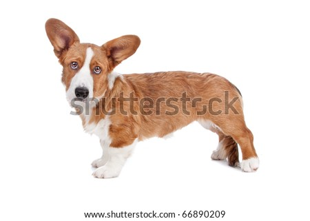 Side view of Welsh Corgi dog looking at camera, isolated on a white background