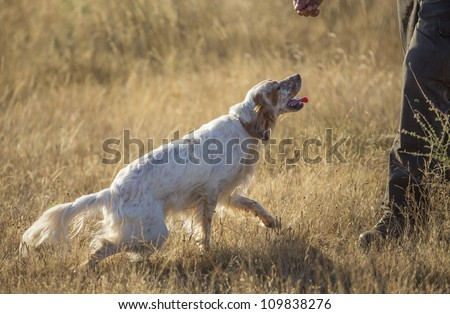 side view of white english setter purpurebred dog and man hand