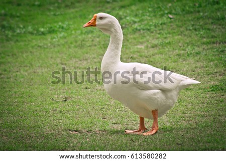 side view of white goose standing on green grass