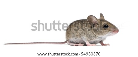 Side view of Wood mouse in front of white background