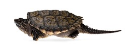 Side view of young Common snapping turtle, isolad on white background