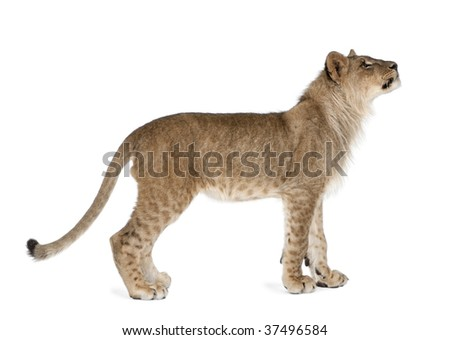 Side view of young lion cub, Panthera leo, 8 months old, standing against white background, studio shot