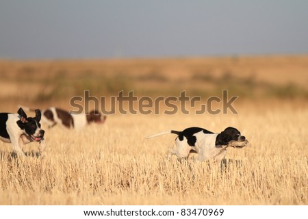 side view of young pointer pedigree dogs with quail in mouth running on a cultivated wheat field