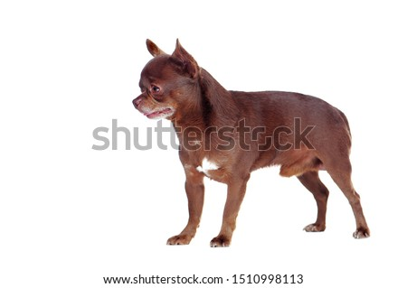 Side view picture of a chihuahua dog looking to the side