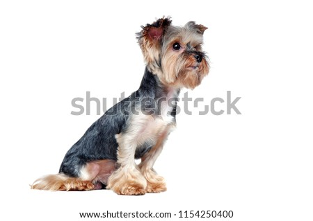 Side view picture of a sitting yorkie dog looking to the copy space area