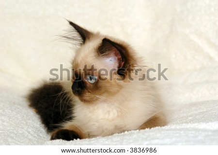 side view portrait of a young seal point himalayan kitten with round blue eyes