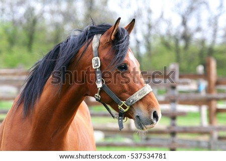 Side view portrait of beautiful bay horse in summer corral #537534781